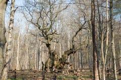 De koningen eiken boom, Kongeegen Royalty-vrije Stock Afbeelding