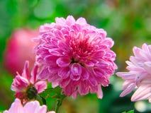 De koningin van bloemen Stock Afbeelding