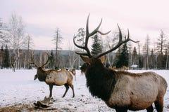 De koninklijke rode hertenbok met geweitakken bekijkt bos Stock Foto's