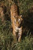 De koninklijke Tijger die van Bengalen avondwandeling nemen Royalty-vrije Stock Afbeelding