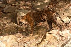 De koninklijke tijger die van Bengalen door ruw terrein lopen stock fotografie