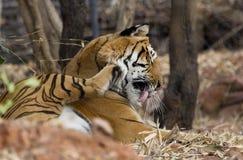 De koninklijke Tijger van Bengalen Royalty-vrije Stock Foto's