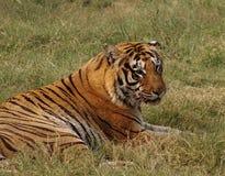 De koninklijke Tijger van Bengalen stock afbeeldingen