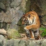 De koninklijke tijger van Bengalen in actie stock foto