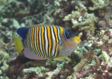 De koninklijke of vorstelijke zeeëngel zwemt over koralen van Bali royalty-vrije stock afbeelding