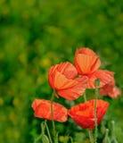 De konzentrierte sich, Mohnblumenblumen auf ein Frühlingsfeld Stockfoto