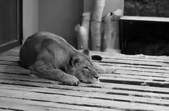 In de kooi & x28; lion& x29; stock afbeeldingen