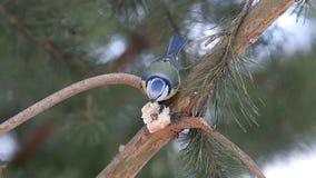 De koolmees (Parus-majoor) en de Europees-Aziatische blauwe mees (Cyanistes-caeruleus) maken over voedsel ruzie stock video