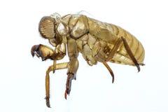 De koppelende cicade zal op een gegeven moment voorkomen stock foto