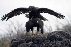 De koppelende Haviken van de Galapagos Stock Afbeeldingen