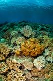 De koralen van het paddestoelleer in Banda, de onderwaterfoto van Indonesië stock afbeeldingen