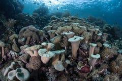 De Koralen van het paddestoelleer in Raja Ampat royalty-vrije stock afbeelding
