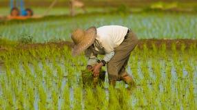 De Koreaanse Planter van de Rijst - Mannetje Royalty-vrije Stock Afbeelding