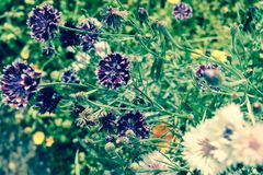De korenbloemen zijn eenvoudige en mooie tuin purpere bloemen in het gras stock fotografie