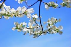 De kornoelje bloeit - Kleuren op Aardachtergrond - het Hangen Wit stock foto's