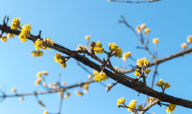 De kornoeljelente door bijen wordt bestoven die Royalty-vrije Stock Afbeelding