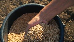 De korrel is in de handen van de landbouwer, plukken de mensen` s handen tarwe van een emmer en gieten van hand aan hand stock video