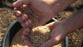 De korrel is in de handen van de landbouwer, plukken de mensen` s handen tarwe van een emmer en gieten van hand aan hand stock videobeelden