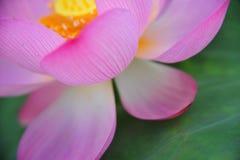 De korrel van de bloem van de lotusbloem bloemblaadje-rode lotusbloem is schitterend Royalty-vrije Stock Afbeelding