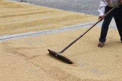 De korrel van de rijst onder zonlicht Stock Afbeelding