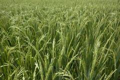 De korrels die van de rijst op steel rijpen Stock Afbeeldingen