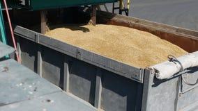 De korrels van gerst worden verzameld voor kwaliteitscontrole of analyse, Installatie van broodproducten, onderneming van malen e stock videobeelden