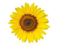 De korrels van het stuifmeel op een zonnebloem die op wit wordt geïsoleerdr Stock Fotografie