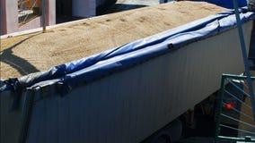 De korrels van rogge worden verzameld voor kwaliteitscontrole of analyse, Installatie van broodproducten, onderneming van malen e stock videobeelden