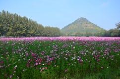 De kosmos bloeit Gebied bij Platteland Nakornratchasrima Thailand Stock Afbeeldingen