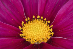 De kosmos van de tuin (bipinnatus van de Kosmos) Stock Afbeelding