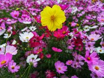 De kosmosbloemen zijn het bloeien reeks aan achtergrond, gewas die bij het gebied van Thailand planten royalty-vrije stock fotografie