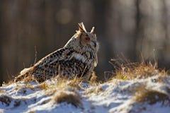 De koude winter met zeldzame vogel Grote vogel in sneeuw Oostelijk Siberisch Eagle Owl, Bubo-bubosibiricus, die op heuveltje met  royalty-vrije stock foto's