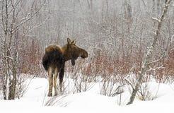 De koude Winter voor Amerikaanse elanden Stock Foto