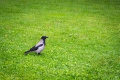 De kraai bevindt zich in de grasyard royalty-vrije stock foto