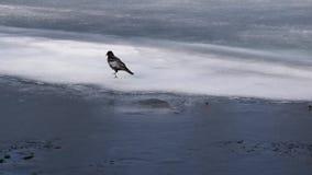 De kraai loopt het ijs stock video