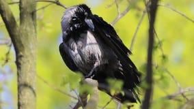 De kraai maakt veren na het baden van langzame motie schoon stock video