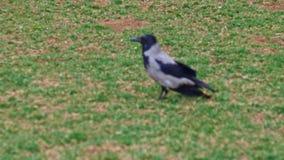 De kraai met een kap - Corvus cornix - is species van vogels van de soort kraaien Een grijze kraai op het gras stock footage
