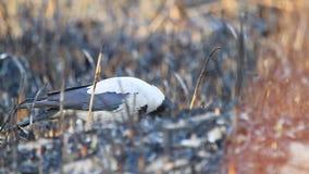 De kraai met een kap zoekt dode dieren in een gebrand riet stock footage