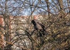 De kraai zit op een mooie schilderachtige vertakte boom zonder bladeren in de vroege lente royalty-vrije stock afbeelding
