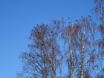 De kraaien hebben vergadering in koud weer Stock Foto