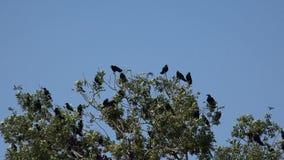 De kraaien op tak, vliegende troep, menigte van raaf in boom, zwarte vogel, sluiten omhoog stock video