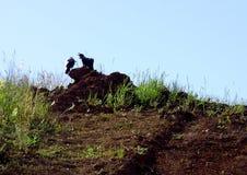 De kraaien zitten op de grond Stock Foto