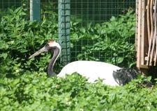 De kraan van Japan Rood-bekroonde kraan, Grus-japonensisvogel royalty-vrije stock foto's