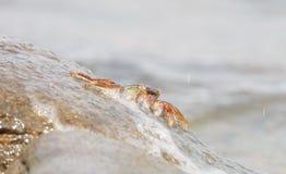 De krab die op de rots beklimmen Stock Afbeeldingen