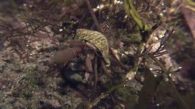 De krab die van de kankerkluizenaar op de rotsachtige zeebedding kruipen stock videobeelden
