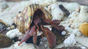De krab die van de kluizenaar op het strand kruipt stock video