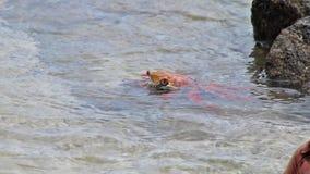De krab die van Sally lightfoot (Grapsus-grapsus) op Chinees Hoedeneiland voeden, het Nationale Park van de Galapagos, Ecuador stock videobeelden