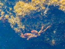 De krab en de garnalen Stock Foto's