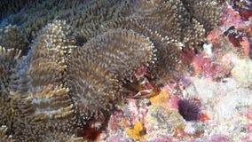De krab is gemaskeerd in anemoon op zoek naar voedsel op schone duidelijke zeebedding onderwater stock footage