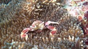 De krab is gemaskeerd in anemoon op zoek naar voedsel op schone duidelijke zeebedding onderwater stock videobeelden